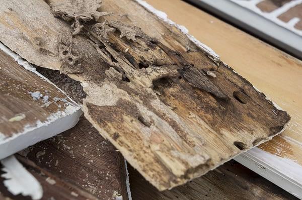 Termite scaled